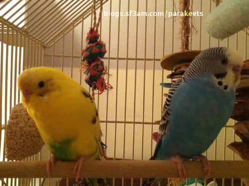 photo of Sparty and Dodger the parakeets on a wooden perch