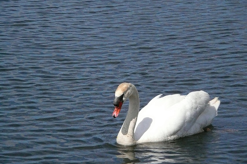 swan in White Lake