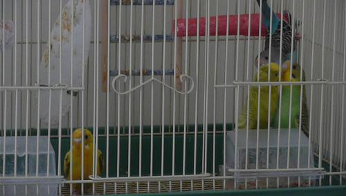 parakeets food standoff