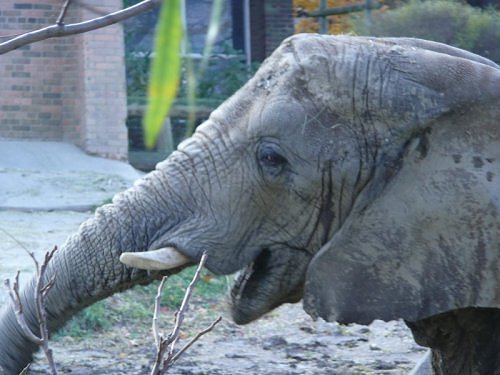 elephant - close up