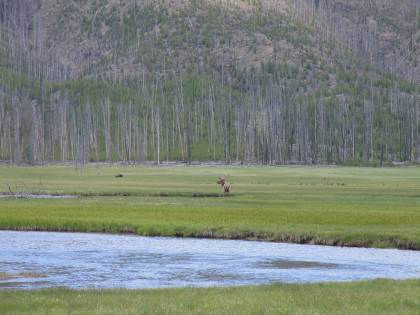 moose at Yellowstone National Park, May 2007, by Daniel J. McKeown