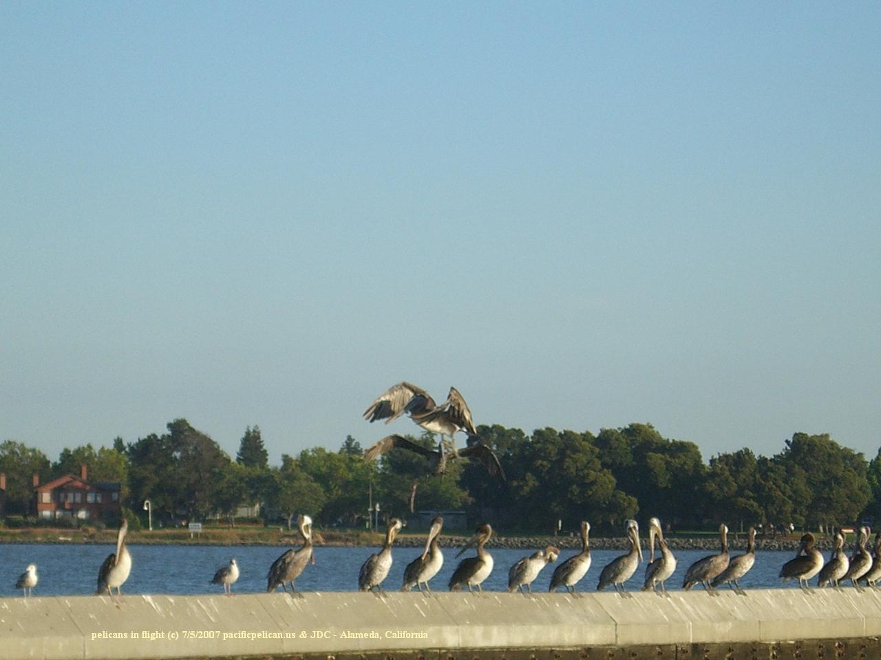 pelicans flying near Alameda, July 5, 2007