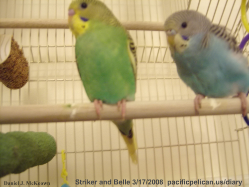 Striker and Belle the parakeets