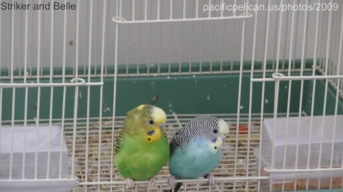 parakeets thinking about coming out of their house