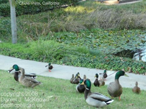 ducks at Chula Vista, California, 2008